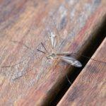 Welche Mücke ist die gefährlichste?