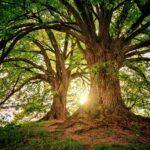 Warum haben die größten Bäume die kleinsten Blätter?